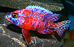 Aulonocara firefish Coral Red OB