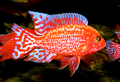 Aulonocara firefish coral red for Red para peces de acuario