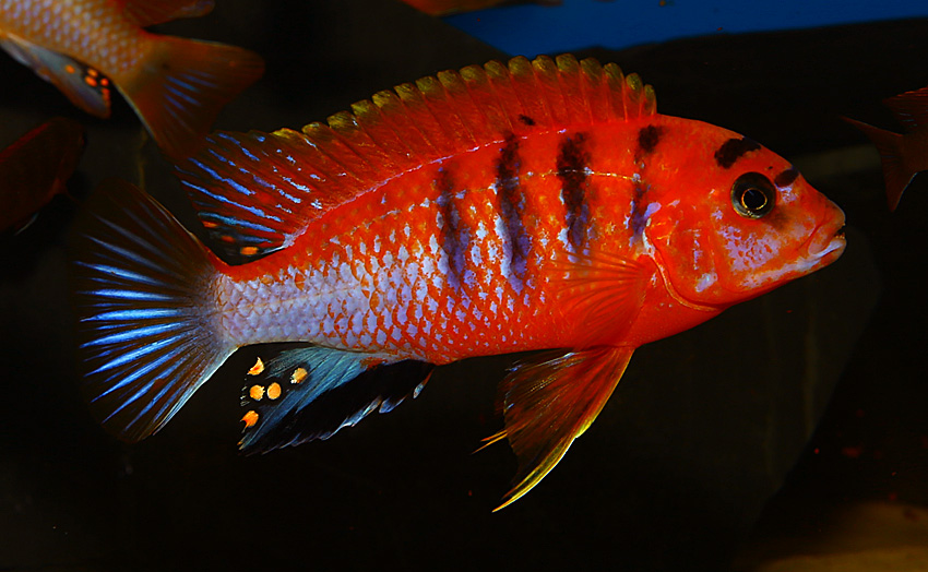 Labidochromis hongi red top Schweden (Deluxe red)
